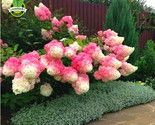 Rawberry hydrangea flower seeds for planting in pot or ground easy to grow flower1 thumb155 crop