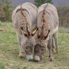 French Provence Donkeys