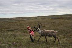 It's like herding reindeer.