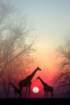 Sunset in Africa #planet_animals #giraffe