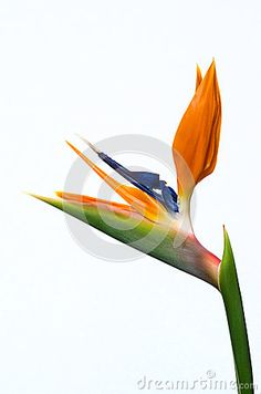 Download Strelitzia Flower Stock Photo for free or as low as 0.15 €. New users enjoy 60% OFF. 22,362,260 high-resolution stock photos and vector illustrations. Image: 39070020