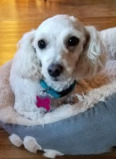 Cash is an adoptable Poodle searching for a forever family near Jamestown, ND. Use Petfinder to find adoptable pets in your area.