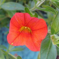 http://fotomacro.tumblr.com/ Copyright © 2015 Foto Macro - All Rights Reserved #nature #macro #superbell #flower #gardening