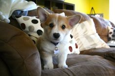♥ #corgi - Click image to find more Animals Pinterest pins