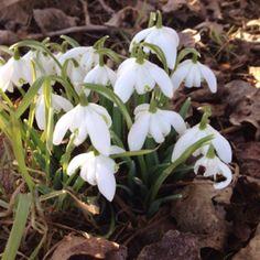 Snödroppar, a sign of spring.