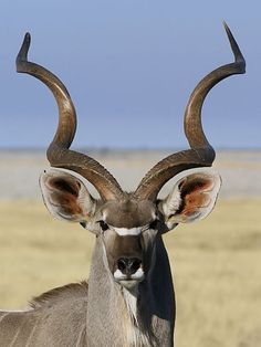 Male greater kudu. Only the males have horns, which can have up to 3 full turns.
