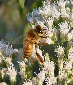 anyone who intends to harm, or does harm to Honeybees will instantly be attacked by a swarm of bees