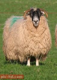صور الخروف معلومات عن الخروف Sheep Animals Goats