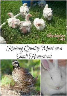 Even on a small homestead, you can raise your own quality meat.  Here's some…