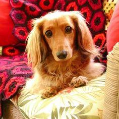 This dog looks just my little dacshund!