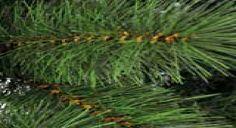 Kerstboom topkwaliteit 210cm natuurlijke uitstraling gemaakt van hoogwaardige PVC, dubbelnaaldig dik en dun, vuurbestendig, met 2 verschillende takken, verstelbaar en flexibel. Inclusief eenvoudig te monteren standaard. 2 jaar garantie.