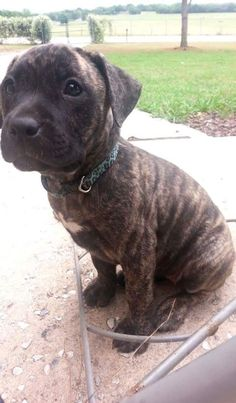 This is Dede. She is a pit/mastiff/lab mix. Mom is blonde brindle and dad is blonde, she is different. Brindle Mastiff, Brindle Boxer, Mastiff Mix, Mastiff Puppies, Boxer Lab Mix Puppies, Pitbull Mix Puppies, Cute Puppies, Cute Dogs, Amstaff Terrier