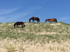 Wild horses on the dunes at Carova Beach, NC. June 2016
