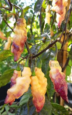Weight Loss Fruits And Nuts Chilli Plant, Fruits And Veggies, Vegetables, Coconut Oil Weight Loss, Pepper Seeds, Red Tomato, Hottest Chili Pepper, Exotic Fruit, Garden Seeds