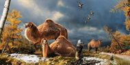 High Arctic camels, like those shown in this illustration, lived on Ellesmere Island during the Pliocene warm period about 3.5 million years ago.