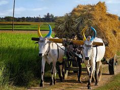 Bulls work hard helping the man bring the hay. Bullock Cart, Gone Days, Village Photography, Animated Love Images, Travel And Tourism, Cow, Sketches, History, World