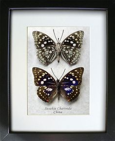 REAL PURPLE JAPANESE EMPEROR BUTTERFLY TAXIDERMY INSECT SHADOW BOX SASAKIA
