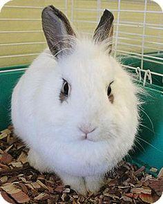 Paris, ME - Lionhead Mix. Meet Gigi, a pet for adoption. http://www.adoptapet.com/pet/10580274-paris-maine-rabbit