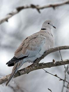 Turkinkyyhky, Streptopelia decaocto - Linnut - LuontoPortti Bird Watching, Pigeon, Bird Houses, Feather, Birds, Nature, Animals, Beauty, Beautiful