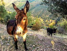 Das Erntegut wird noch am gleichen Tag mit Eseln zur nächsten Straße und von dort zum Pressen in eine Ölmühle gebracht, um durch zeitnahe Verarbeitung höchste Qualität für das Endprodukt zu gewährleisten. Das Lesbian Donkey Olivenöl gibt es bei http://www.gutesvonkreta.de.