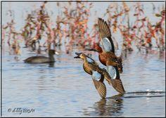 Cinnamon Teal pair Waterfowl Hunting, Duck Hunting, Teal Duck, Taxidermy, Ducks, Animal Kingdom, Cinnamon, Birds, Type