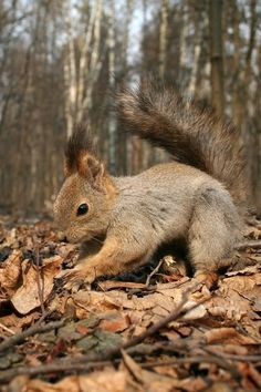 Red Squirrel in Autumn Forest Animals And Pets, Baby Animals, Cute Animals, Beautiful Creatures, Animals Beautiful, Autumn Animals, Cute Squirrel, Squirrels, Little Critter