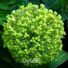 Aliexpress.com : Buy Time Limit!!Exotic Onion Seeds Giant Allium ...