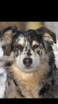 Zookie . Australian Shepherd