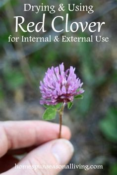 effective and easy home remedies by drying and using red clover for internal and external use.Make effective and easy home remedies by drying and using red clover for internal and external use. Holistic Remedies, Natural Health Remedies, Natural Cures, Natural Healing, Herbal Remedies, Natural Foods, Natural Products, Cold Remedies, Holistic Healing