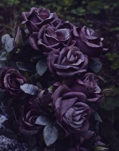 deep purple roses