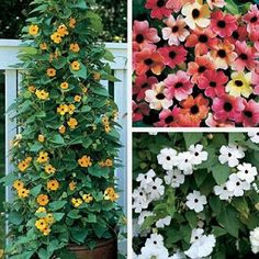 Black-Eyed Susan Vine Seeds Collection by Park Seed. $6.75