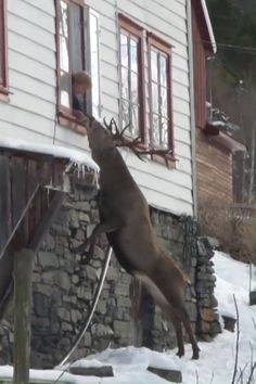 After Husband Dies, Woman Spots Giant Deer Outside The Window Staring At Her (VIDEO) - Аfter husbаnd dies, womаn spots giant deer outside the window stаring аt her. Cute Animal Videos, Funny Animal Pictures, Cute Funny Animals, Cute Baby Animals, Nature Animals, Animals And Pets, Wild Animals, Beautiful Creatures, Animals Beautiful