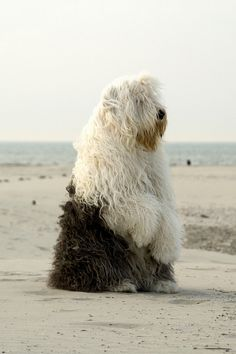 English sheep dog. Have you ever seen anything so magnificent? For @Lynette Whitaker and @Sunny Townes Stewart in particular!