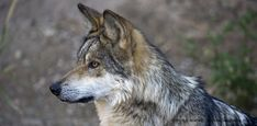 Gray wolves were federally delisted in Idaho and Montana in 2011 and Wyoming in 2012, when states committed to manage wolves sustainably and responsibly.