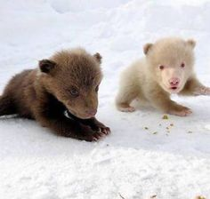 Two little SIBLINGS: GRIZZLY and GHOST BAER!!! Sooo super and cute of course!