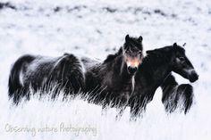 Exmoor Ponies 12 x 8 Fine Art Photography print by observingnature