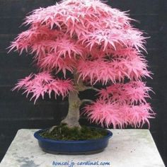 Pink Bonsai Japanese Maple