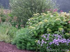amsonia companion plants - Google Search Companion Planting, Hydrangea, Shrubs, Future House, Perennials, Woodland, Bulb, Yard, Patio