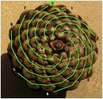 Throughout the span of recorded human history, Pinecones have served as a symbolic representation of Human Enlightenment, the Third Eye and the Pineal Gland.