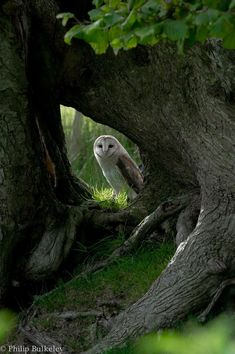 Barn Owl at home in the forest. Nature Animals, Animals And Pets, Cute Animals, Beautiful Owl, Animals Beautiful, Beautiful Forest, Little Birds, Love Birds, Photo Animaliere