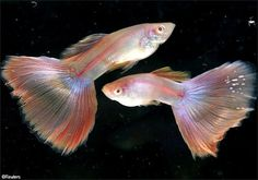 """A pair of """"Moscow Super White Albino"""" guppies swim in a fish tank at a guppy farm in Singapore"""