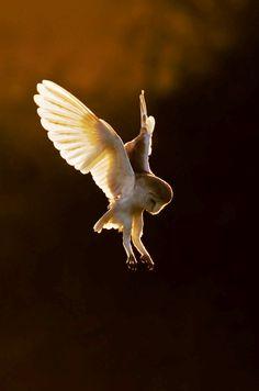 Barn Owl, Tyto Alba hovering backlit.  by David Whistlecraft