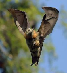 Flying bat carrying baby bat