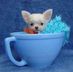 Literally a teacup chihuahua. c;                                                                                                                                                                                 More