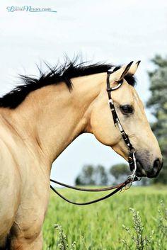 beautiful buckskin quarter horse