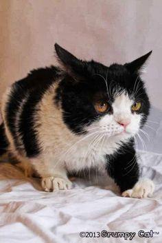 Grumpy Cat's Brother Pokey #Pokey #photos