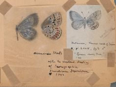 Author and passionate lepidopterist Vladimir Nabokov once said: 'Literature and butterflies are the two sweetest passions known to man.' His scientific drawings and watercolours of butterflies have now been collected into one volume, Fine Lines White Butterfly, Vintage Butterfly, Butterfly Wings, Butterfly Illustration, Butterfly Drawing, Illustration Art, Vladimir Nabokov, Scientific Drawing, Nature Drawing
