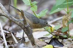From Wikiwand: Bower's shrikethrush