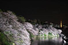 "@""atthedawn"" on Instagram  昨日からここのところの春の恒例夜桜見物を始めました今年は何ヶ所行けるか楽しみです 初日は千鳥ヶ淵に出かけました写真は荘厳な静けさを感じるほどの光景ですがこれはみんなで押し合い圧し合いしながら一斉にカメラを頭上に掲げて撮った一枚です何枚か撮ったうち押されてもブレてなかったやつをpostしました  #夜桜#お堀#東京タワー#千鳥ヶ淵#東京都 #team_jp_#team_jp_東#icu_japan#canon_photos#Loves_Nippon##Lovers_Nippon#jp_views2nd#ig_japan#wu_japan#jp_gallery#tokyocameraclub#RECO_ig#IGersJP#loves_china#PHOS_JAPAN#team_jp_春色2016#japan_night_view夜桜2016#はなまっぷ桜#夜景ら部#奥行き同盟"