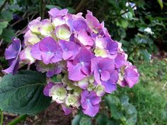 Cream and mauve hydrangea blooms